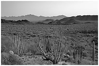Cactus and Sonoyta Valley, dusk. Organ Pipe Cactus  National Monument, Arizona, USA ( black and white)