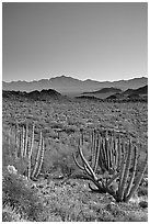 Pictures of Organ Pipe Cactus National Monument