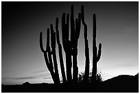 Organ Pipe cactus silhouetted at sunset. Organ Pipe Cactus  National Monument, Arizona, USA ( black and white)