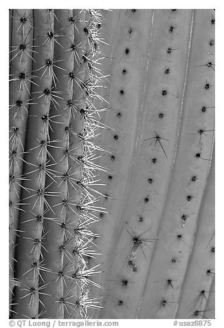 Detail of Organ Pipe Cactus. Organ Pipe Cactus  National Monument, Arizona, USA (black and white)