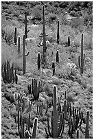 Cactus on hillside. Organ Pipe Cactus  National Monument, Arizona, USA ( black and white)