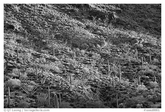 Saguaro and Ocotillo  on a slope. Organ Pipe Cactus  National Monument, Arizona, USA (black and white)