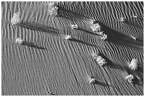 Bushes on sand dune. Canyon de Chelly  National Monument, Arizona, USA ( black and white)