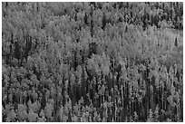 Slope with aspens in fall color, Rio Grande National Forest. Colorado, USA (black and white)