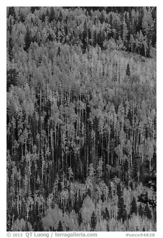 Aspens in autumn foliage on hillside, Rio Grande National Forest. Colorado, USA (black and white)