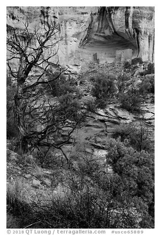 Juniper and cliff dwelling in alcove. Canyon of the Anciens National Monument, Colorado, USA (black and white)