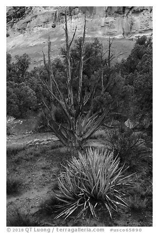 Yucca and juniper. Canyon of the Anciens National Monument, Colorado, USA (black and white)