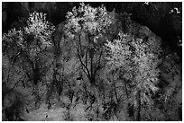 Trees in winter, Riffle Canyon. Colorado, USA ( black and white)