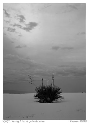 Lone yucca plants at sunset. White Sands National Monument, New Mexico, USA (black and white)