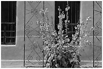 Flowers and wall, Church San Felipe de Neri. Albuquerque, New Mexico, USA (black and white)