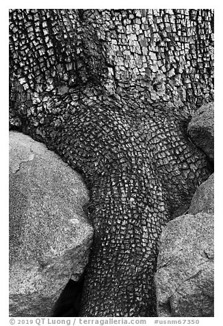 Aligator juniper trunk detail. Organ Mountains Desert Peaks National Monument, New Mexico, USA (black and white)