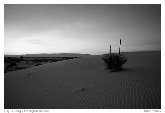 Yucca at sunrise. White Sands National Monument, New Mexico, USA (black and white)