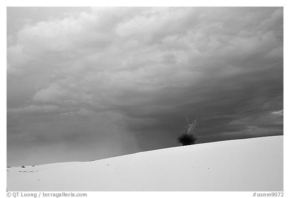 Lone Yucca. White Sands National Park (black and white)