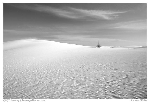 Lone Yucca and white sand dunes. White Sands National Park (black and white)