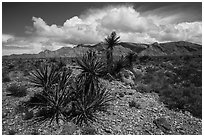 Yuccas in bloom and South Virgin Peak Ridge. Gold Butte National Monument, Nevada, USA ( black and white)
