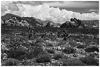 Joshua Trees and Whitney Pocket rocks. Gold Butte National Monument, Nevada, USA ( black and white)