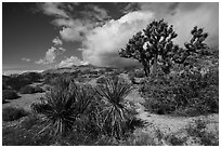 Yucca and Joshua Tree in seed. Gold Butte National Monument, Nevada, USA ( black and white)