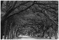 Tree tunnel, North Boulevard. Houston, Texas, USA ( black and white)