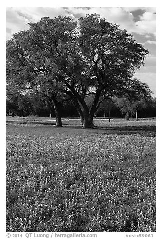Bluebonnets and trees. Texas, USA (black and white)