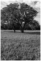 Bluebonnets and trees. Texas, USA ( black and white)
