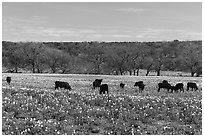 Cows in flower-filled meadow. Texas, USA ( black and white)