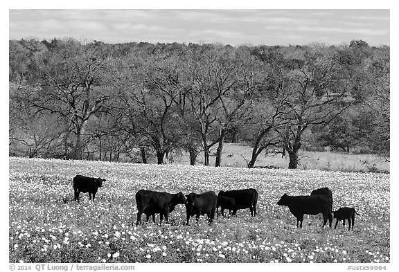 Cattle in meadow with flowers. Texas, USA (black and white)