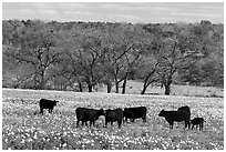 Cattle in meadow with flowers. Texas, USA ( black and white)