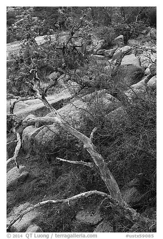 Branches and rocks, Enchanted Rock state park. Texas, USA (black and white)