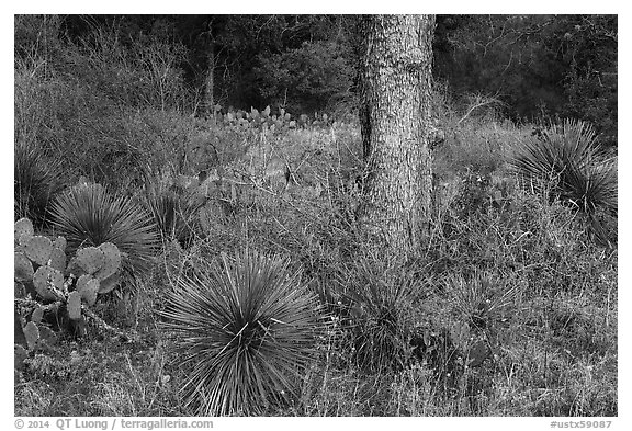 Flowers and cactus, Enchanted Rock state park. Texas, USA (black and white)