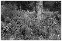 Flowers and cactus, Enchanted Rock state park. Texas, USA ( black and white)