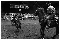 Bull being roped, Stokyards Championship Rodeo. Fort Worth, Texas, USA ( black and white)