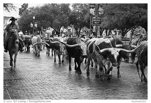 Cowboys drive Longhorn cattle herd through Stockyards street. Fort Worth, Texas, USA (black and white)