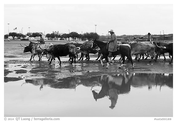 Cowboys and cattle reflected in a water puddle. Fort Worth, Texas, USA (black and white)