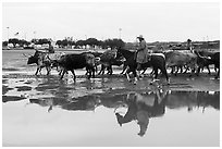 Cowboys and cattle reflected in a water puddle. Fort Worth, Texas, USA ( black and white)