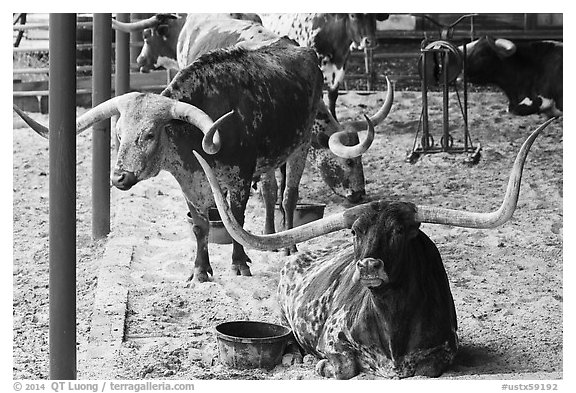 Texas Longhorn in pen. Fort Worth, Texas, USA (black and white)