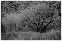 Cottonwood trees and cliff in autumn. Grand Staircase Escalante National Monument, Utah, USA ( black and white)