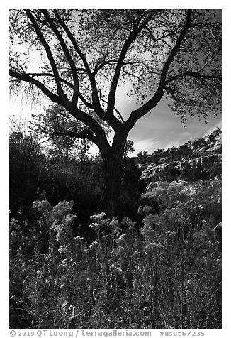 Blooms and cottonwood in late fall, Road Canyon. Bears Ears National Monument, Utah, USA (black and white)