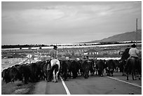 Cowboys escorting cattle. Utah, USA (black and white)