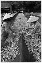 Women picking up dried anchovies. Phu Quoc Island, Vietnam (black and white)
