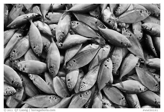Freshly caught fish, Duong Dong. Phu Quoc Island, Vietnam (black and white)