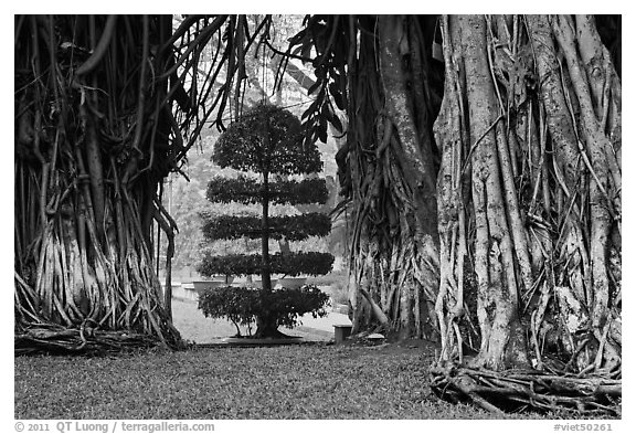 Banyan trees framing a topiary tree in park. Ho Chi Minh City, Vietnam (black and white)