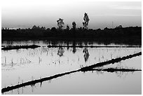 Flooded rice fields at sunset. Mekong Delta, Vietnam ( black and white)