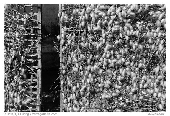 Grids with cocoons of silkworms (Bombyx mori). Hoi An, Vietnam (black and white)