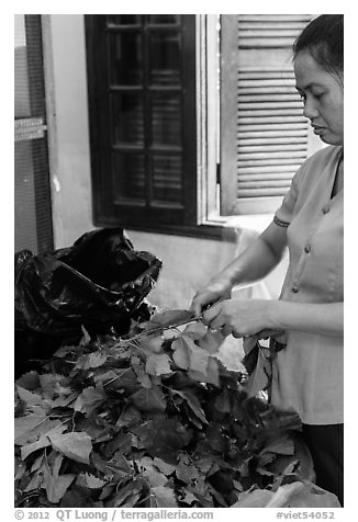 Woman detaching leaves for feeding silkworms. Hoi An, Vietnam (black and white)