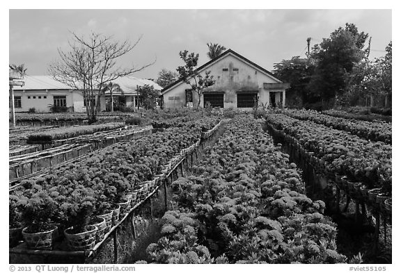 Rows of potted red flowers. Sa Dec, Vietnam (black and white)