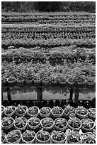 Potted flowers rows. Sa Dec, Vietnam ( black and white)