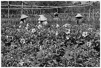 Flowers and workers in flower field. Sa Dec, Vietnam ( black and white)