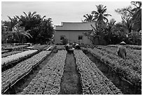 Workers amongst rows of potted flowers. Sa Dec, Vietnam ( black and white)