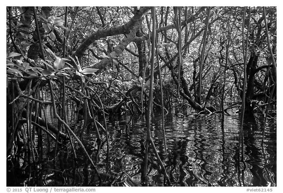 Dense mangroves growing in water, Bay Canh Island, Con Dao National Park. Con Dao Islands, Vietnam (black and white)