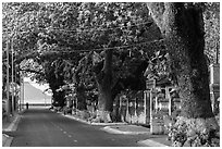 Street lined with old trees, Con Son. Con Dao Islands, Vietnam ( black and white)